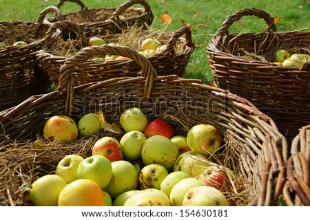 Apples in wicker baskets (autumn harvest)