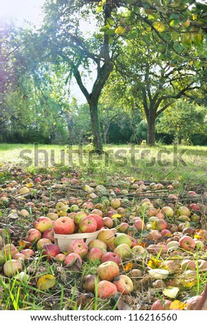 apples littering  the ground of an orchard