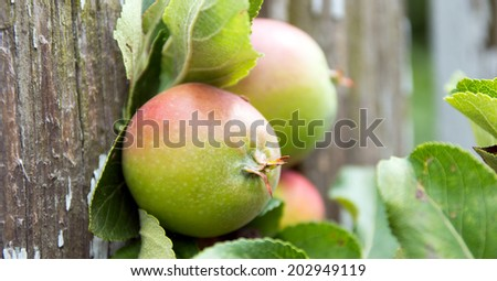Apples on a branch / Apples #202949119