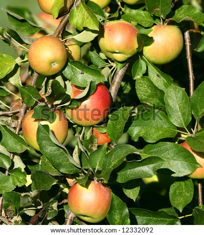 Apples on Tree Waiting to be Harvested