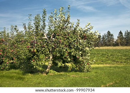 Apples on trees in a farm orchard.