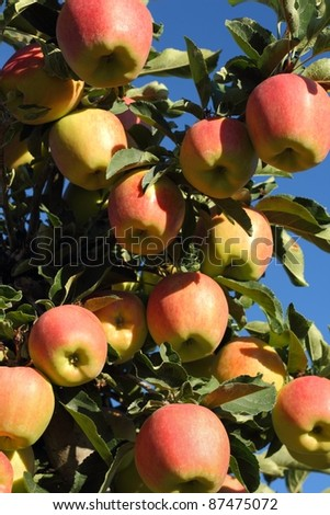 Apples ready to be harvested in the Okanagan near Osoyoos, British Columbia, Canada.