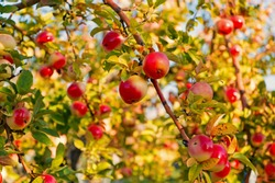 Apples red ripe fruits on branch sky background. Apples harvesting fall season. Gardening and harvesting. Organic apple crops farm or garden. Autumn apples harvesting season. Rich harvest concept.
