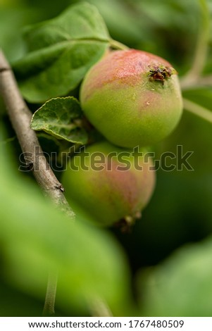 Apples ripen on the apple tree. Green and red apples with raindrops on a branch of apple tree. Small apples on a tree branch. Harvest apples.