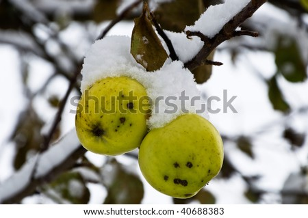Apples under snow on a branch