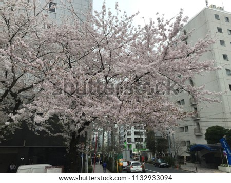 Apr 3, 2015, Tokyo Japan; pink and white Sakura tree at Tokyo, Ohanami festival and Cherry Blossom is blooming in spring season, is the most beautiful flower in japan.