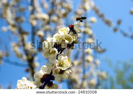 Apricot, bees collect pollen, early springtime - stock photo