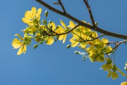 Apricot blossom season in Vietnam with yellow and white color