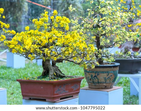 Apricot bonsai tree blooming with yellow flowering branches curving create unique beauty. This is a special wrong tree symbolizes luck, prosperity in spring Vietnam Lunar New Year #1047795022