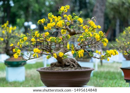 Apricot bonsai tree blooming with yellow flowering branches curving create unique beauty. This is a special wrong tree symbolizes luck, prosperity in spring Vietnam Lunar New Year #1495614848