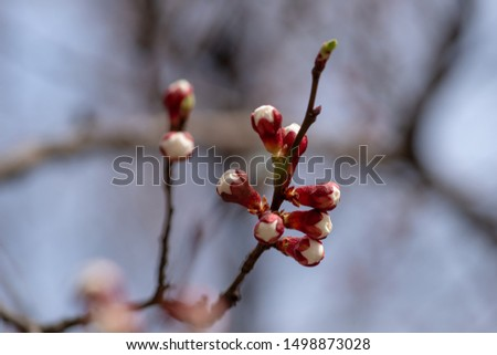Apricot flower buds against the blue sky is about to bloom with gorgeous flowers in Ukraine. Fresh spring backgrund. Nature comes alive and blooms. #1498873028