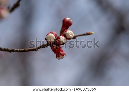 Apricot flower buds against the blue sky is about to bloom with gorgeous flowers in Ukraine. Fresh spring backgrund. Nature comes alive and blooms. #1498873859