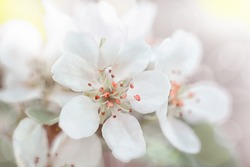 Apricot flowers bloom in spring, apricot branch, tinted photo, high key.