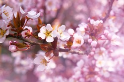 Apricot flowers blooming with white bright fragrant petals which can be used for a greeting card. Spring blurred background of nature.