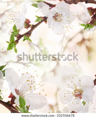 Apricot flowers in spring, flowers background