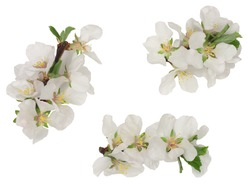 Apricot flowers isolated on white background, top view.