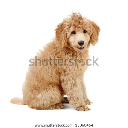 Apricot 4 mont Poodle puppy in front of a white background #15060454