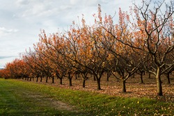 Apricot orchard in autumn with golden leaves falling on the ground, Otago region, South Island