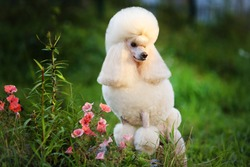 Apricot poodle portrait with flowers. Outdoor