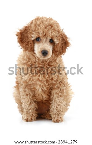 Apricot poodle puppy, isolated on white background #23941279
