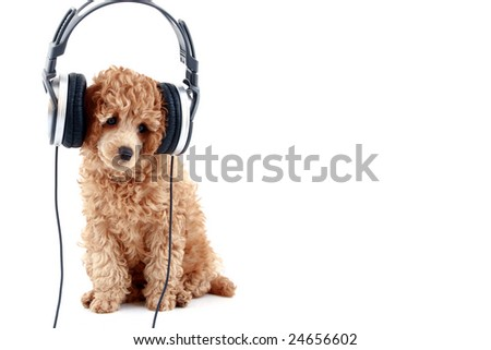 Apricot poodle puppy listening to music on headphones