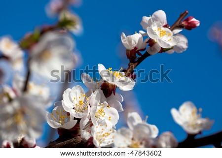 Apricot (Prunus armeniaca) branch with white blossoms against rich blue sky.