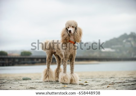 Apricot Standard Poodle dog portrait at beach with railroad tracks