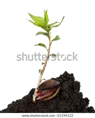 apricot stone and sprout in soil heap isolated on white background