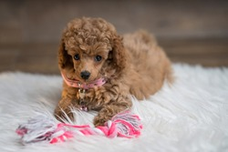 Apricot toy poodle puppy with a toy