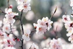 Apricot tree branches covered with delicate pink and white flowers in spring