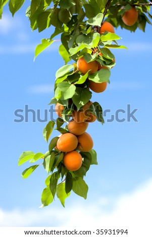 Apricots growing on an apricot tree.