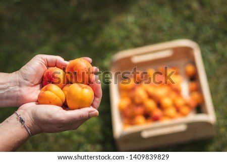 Apricots in female hands, wooden crate full of harvested organic fruit as blurry background. Harvesting homegrown produce.
