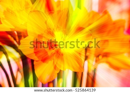 April blooming Narcissi flowers arranged in vase for interior Daffodil, yellow spring flower in the Amaryllidaceae amaryllis familiy. Used for fragrances and medicinal plant, image with rainbow filter