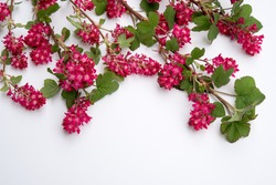 April blooming red flowering currant on white background for copyspace  Ribes sanguineum with fresh petals, perfect for gardening blogs, business websites, book covers