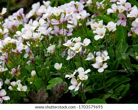 April 2020 spring flowers growing in parks and gardens of the city of Bialystok in the Podlasie region of Poland Zdjęcia stock ©