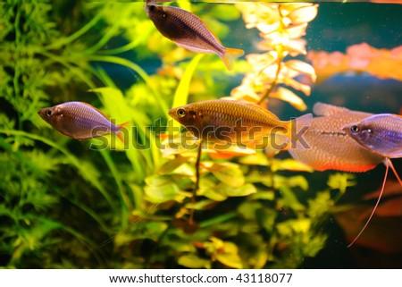 Aquarian fishes
