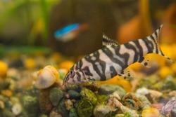 Aquarist, aqua fish. Megalechis thoracata freshwater fish from the shell catfish family