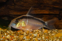 Aquarium catfish.Corydoras arcuatus has a couple of common names - arched cory or skunk cory and both allude to the black stripe that arches over the fish's back from its nose to its tail.