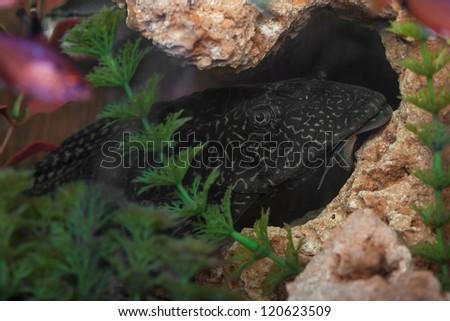 Aquarium Catfish, Hypostomus plecostomus, rests on basalt soil crumbs