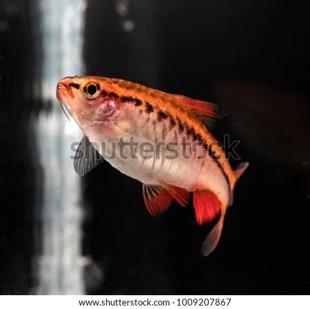 Aquarium fish, Barbus #1009207867