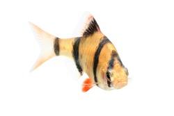 Aquarium fish, barbus puntius tetrazona isolated on white