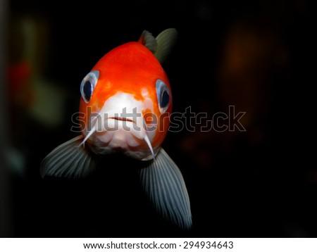 Free Photos Aquarium Fish Cyprinus Carpio Koi Carp From Japan