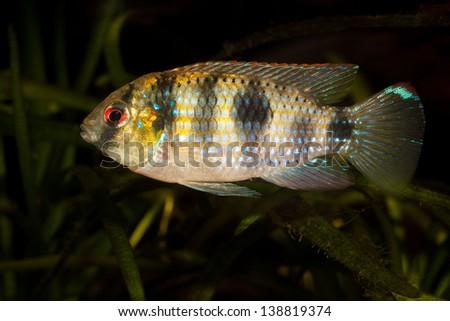 aquarium fish in detail - Anomalochromis thomasi