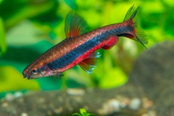 Aquarium fish Nannostomus beckfordi, commonly known as the Golden pencil fish, is a freshwater species of fish belonging to the Lebiasinidae family of characins.