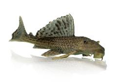 aquarium fish  Pleco isolated on white backgroun, cleaner fish