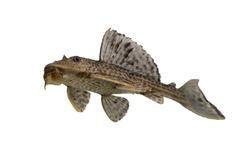 aquarium fish  Pleco isolated on white background, cleaner fish