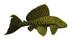 aquarium fish Sailfin Pleco isolated on white background