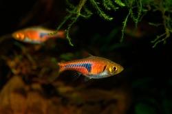 Aquarium fish. The Espe's Rasbora Trigonostigma espei (previously Rasbora espei) is yet another amazing aquarium fish from Southeast Asia. It is a relative newcomer, described in 1967.