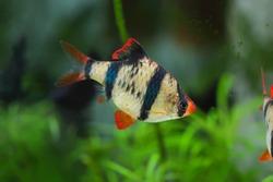Aquarium fish - Tiger barb or Sumatra barb  (Barbus pentazona)