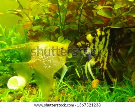 aquarium, freshwater fish #1367521238